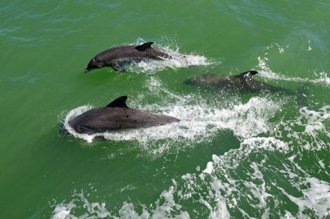 Looking down on three dolphins swimming by boat