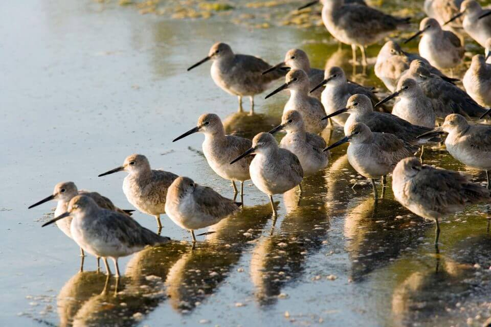 Willets gather by the shore of wildlife preserve